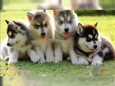 roce 2020 osvojit štěně sibiřský husky!