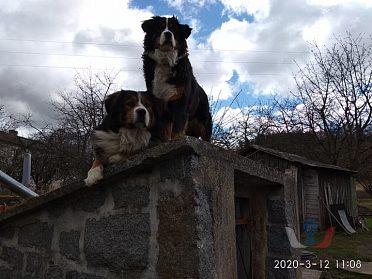 Prodám štěňátka Bernský salašnický pes