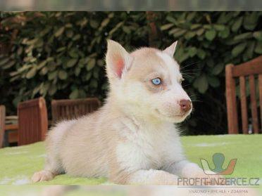 Sibiřský husky - štěně s PP