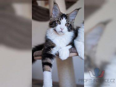 Koťata Mainská mývalí