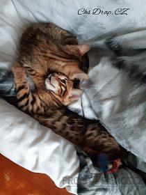 bengálský kocour , kotě
