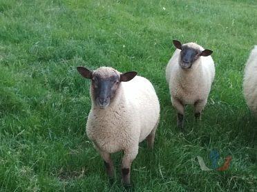 Prodám ovečku a beránka
