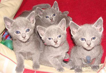 Ruská modrá - kocourek a kočička hned