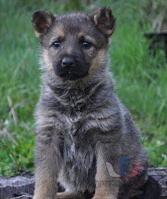 štěně německého ovčáka