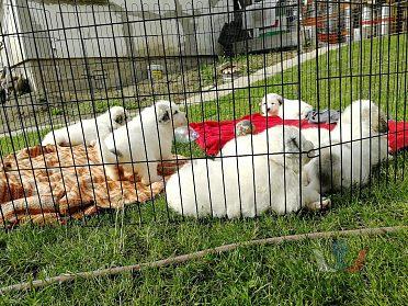 Prodám štěňata Pyrenejskèho horskèho psa