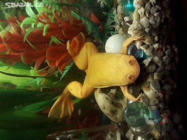 Drápatka (akvarijní žabka)