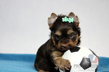 chocolate yorkshire terrier s PP