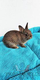 Zakrslý králíček krátkouchý