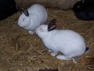 Mladí králíci na výkrm i chov