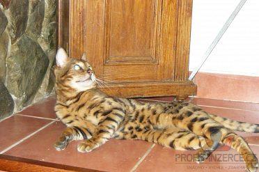 bengálský leopardí kocour na krytí.
