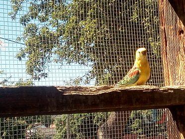 Papoušek zpěvavý