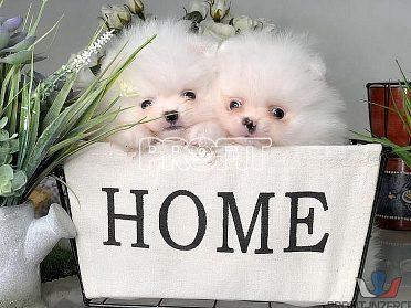 Pomeranian - kluci i holčičky s PP
