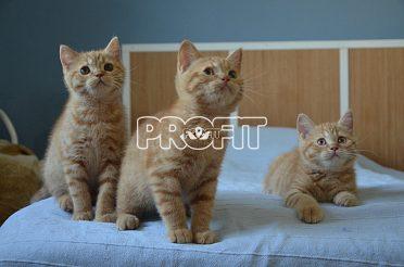 !!! Nádherná britská koťátka s PP !!!