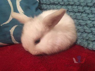 zakrslí králíčci - beránci