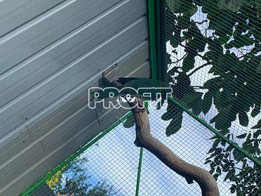 Prodám papoušky královské