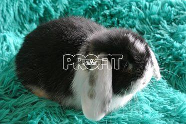 zakrslý králíček - MINILOP
