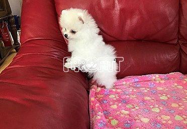 Pomeranian fenečka a kluk
