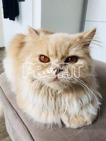Britská dlouhosrstá kočka s PP