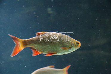 Nástražní rybičky