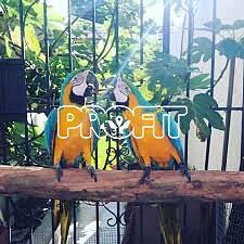 Modrý a zlatý papoušek papoušek