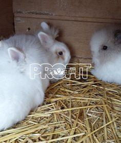 Prodám zakrslé králíky
