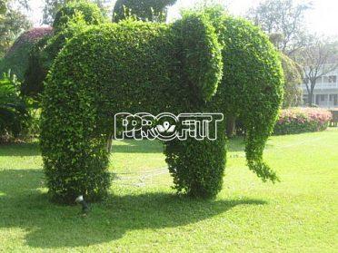 DOPRODEJ! Kouzelný (zázračný) živý plot - Jilm sibiřský