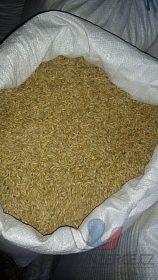 Ječmen a pšenice pytlované po 50 kg.