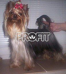Jorkšírský terier s PP