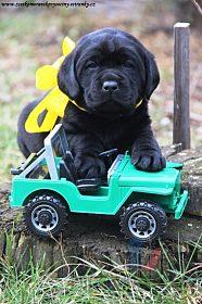 Labrador - černá štěňata s PP