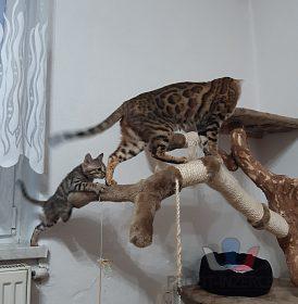 Bengálská kočka- kocour