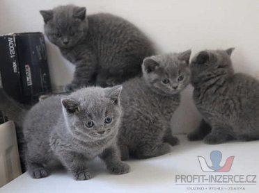 Krásné britské koťata na krátké vlasy
