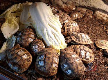 Starší suchozemské želvy