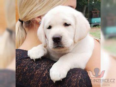 Labrador - krásná štěňátka BÍLÝ a ČERNÁ