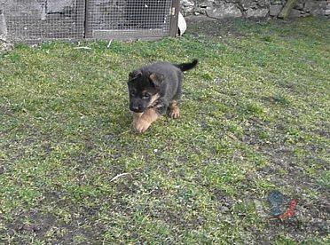 Německý ovčák-štěňata