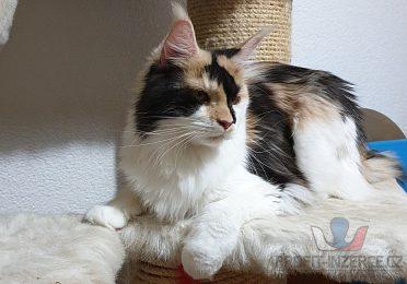 Maisnká mývalí kočička sPP