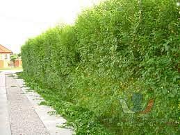 Kouzelný živý plot - Jilm sibiřský