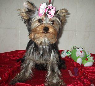 yorkshire terrier s pp.fenečka