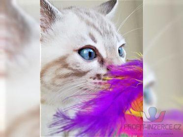 Bengálská koťata s rodokmenem