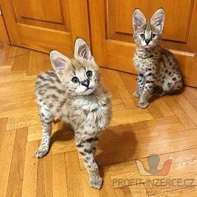 K dispozici jsou koťata F1 a F2 Savanna