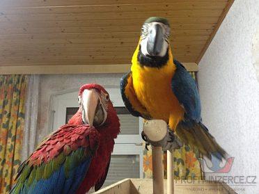 Ara-ararauna papoušek na prodej