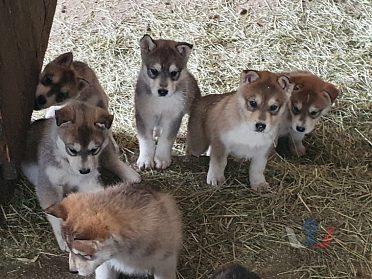 Roztomilé štene Sibiřský husky štenata