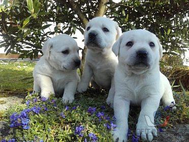 Labrador štěňata bílá a černá s PP