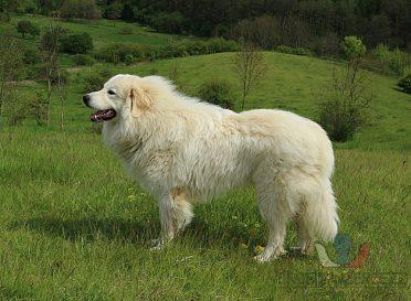 Pyrenejský horský pes s PP štěňata