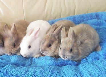 Zakrslý králíček LO, satén, lvíček i krátkosrstý