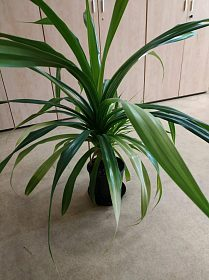 Vzrostlá pokojová rostlina- Pandán - prodej