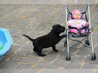 labradorská štěňata bílá a černá