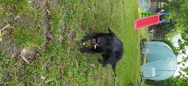 Labrador- 3 letá fenka