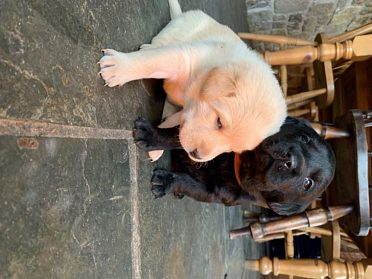 Labradorský retrívr - pes štěňátka