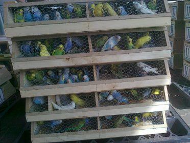 Andulky a jiné ptactvo koupím