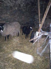 Letošní ovce